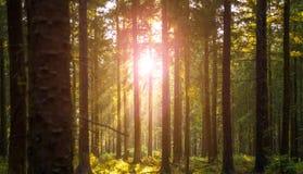 La forêt silencieuse au printemps avec le beau soleil lumineux rayonne Photo libre de droits