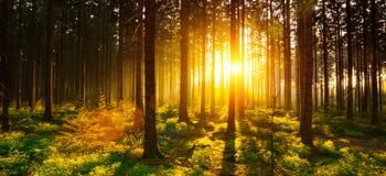La forêt silencieuse au printemps avec le beau soleil lumineux rayonne Image stock