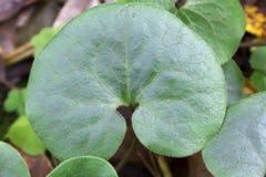 La forêt verte laisse le gingembre sauvage Fond image stock
