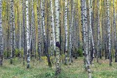 La foresta in autunno, i tronchi di albero, giallo della betulla va immagine stock