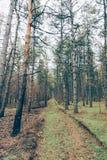 La foresta bruciacchiata Fotografia Stock Libera da Diritti