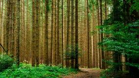 La foresta carpatica immagine stock