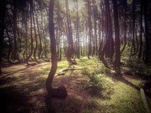 La foresta curvata in Nowe Czarnowo in Polonia Immagine Stock Libera da Diritti