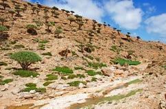 La foresta degli alberi di Dragon Bottle nella zona protetta del plateau di Homhil, isola di socotra, Yemen Fotografie Stock