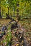 La foresta del carpino Fotografie Stock Libere da Diritti