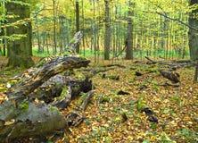 La foresta del carpino Fotografia Stock Libera da Diritti