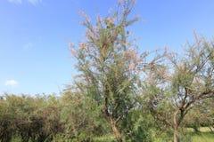 La foresta del casuarina in pascolo, adobe rgb immagini stock