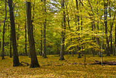 La foresta del hornbeam fotografia stock