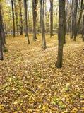 La foresta del hornbeam fotografie stock libere da diritti