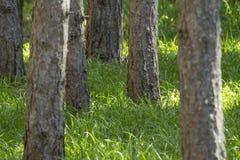 La foresta del pino con erba verde alta è stagione del segno di spunta nel dee Immagine Stock