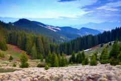 La foresta dell'abete allunga attraverso le colline sotto il cielo blu Immagini Stock