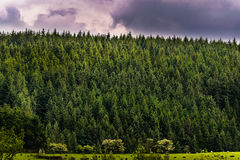 La foresta dell'abete in pennina ad ovest attracca Immagini Stock