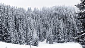 La foresta dell'inverno di Snowy con il pino o gli alberi attillati ha coperto la neve Fotografia Stock