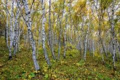 La foresta della betulla bianca fotografie stock