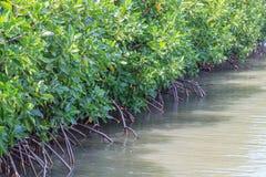 La foresta della mangrovia impedisce la corrosione della linea costiera Immagini Stock