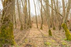 La foresta della primavera nei raggi di luce solare, natura ancora non ha acquistato i colori verdi, dopo l'inverno e l'alta umid Fotografie Stock