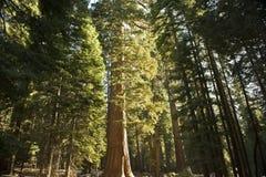 La foresta della sequoia gigante Fotografia Stock