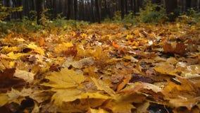 La foresta di autunno con giallo e rosso va su erba Movimento lento stock footage