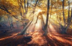 La foresta di autunno con il sole rays nella sera Fotografia Stock Libera da Diritti