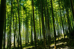 La foresta di bambù famosa a Kyoto Giappone Fotografia Stock Libera da Diritti
