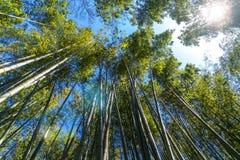 La foresta di bambù famosa Sakano a Kyoto Giappone Immagini Stock