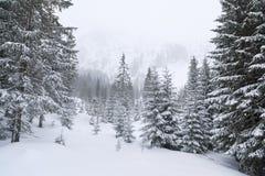 La foresta di conifere in montagne immagine stock libera da diritti