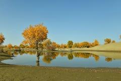 La foresta di populus euphratica vicino al fiume Fotografia Stock Libera da Diritti