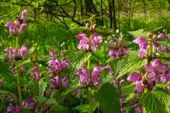 La foresta fiorisce l'morto-ortica Fotografie Stock Libere da Diritti