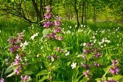 La foresta fiorisce l'morto-ortica ed il cerastio Fotografia Stock Libera da Diritti