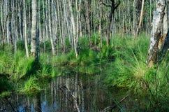 La foresta marcia in Polonia Fotografie Stock