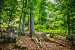 La foresta mystical Immagine Stock