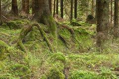 La foresta primigenia Fotografie Stock Libere da Diritti