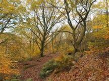 La foresta recente del faggio di autunno con la foglia dorata colora le felci ed il percorso Immagine Stock Libera da Diritti