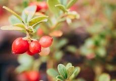 La foresta selvaggia pianta Kola Peninsula e la Scandinavia: Mirtilli rossi del cespuglio del ramo con le grandi bacche mature su Immagini Stock