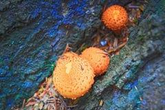 La foresta si espande rapidamente agarichi falsi fotografia stock