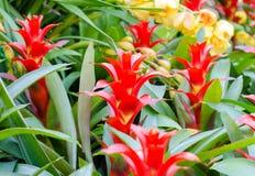 La forma roja del rosetón de la bromelia florece en la floración en primavera Imagen de archivo