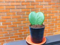 La forma verde del corazón del cactus está en un pote negro con un fondo de la pared de ladrillo imagenes de archivo