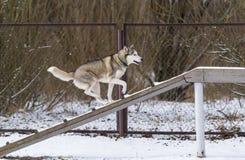 La formation de chien de traîneau sibérien et d'obéissance de chien en hiver images libres de droits