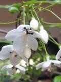 La formica mangia il fiore Immagini Stock