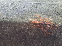 La formica mangia la formica Fotografie Stock