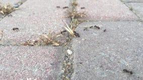 La formica operaia sta portando la testa del grano al suo proprio nido stock footage