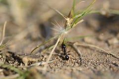 La formica porta il seme Immagine Stock Libera da Diritti