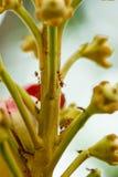 La formica rossa sta muovendo il verme. Immagini Stock