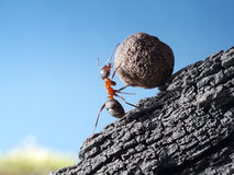 La formica rotola la pietra in salita Fotografia Stock Libera da Diritti