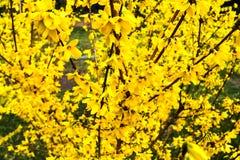 La forsythia del confine ? un arbusto deciduo ornamentale dell'origine del giardino La forsythia fiorisce davanti con ad erba ver fotografie stock libere da diritti