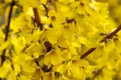 La forsythia del confine ? un arbusto deciduo ornamentale dell'origine del giardino La forsythia fiorisce davanti con ad erba ver fotografia stock