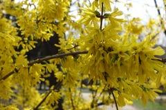 La forsythia forra en la plena floración en el parque Imágenes de archivo libres de regalías
