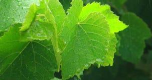 La forte pluie laisse tomber la chute vers le bas les grandes feuilles vertes banque de vidéos