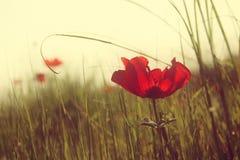 La foto abstracta y soñadora con el ángulo bajo de amapolas rojas contra el cielo con la luz estalló el vintage filtrado y entona fotos de archivo libres de regalías