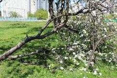 La foto de Apple floreciente cultiva un huerto en Moscú en la primavera foto de archivo